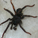 Trap Door Spider (Male)