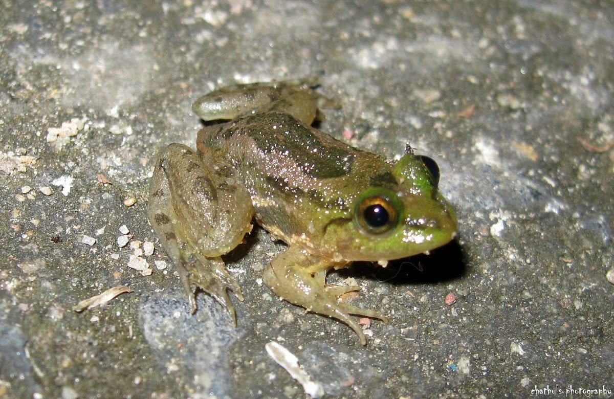 Indian green frog