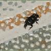 Onthophagus Dung Beetle