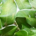 Green Weaver Ant