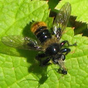 Bee Imitating Robber Fly
