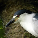 Black-night crowned Heron