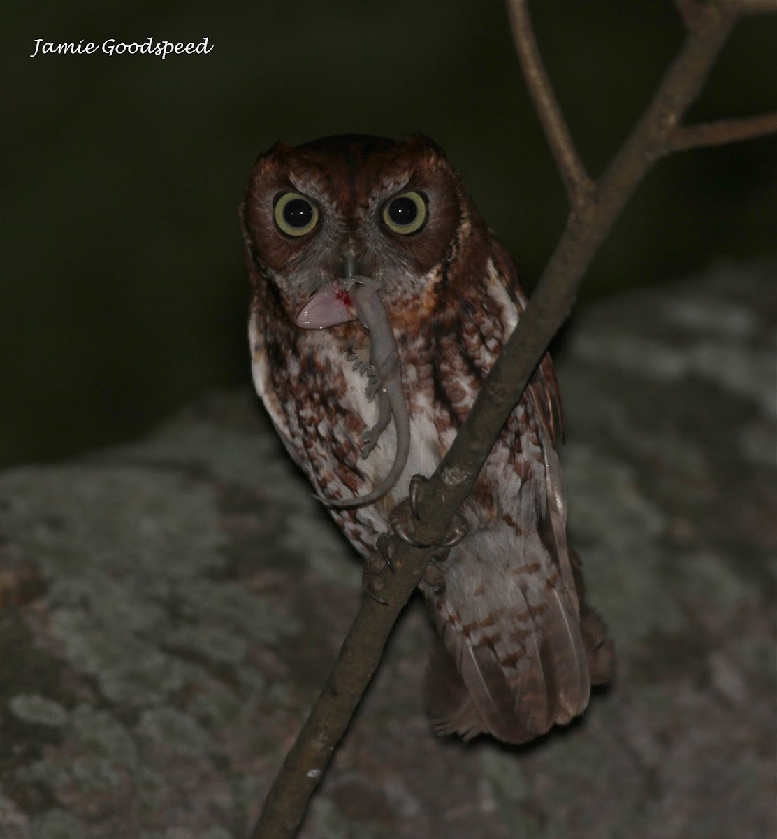 eastern screech owl (red morph)