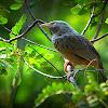 The Yellow-billed Babbler or White-headed Babbler