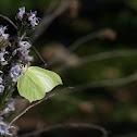 Butterfly [Pieridae]