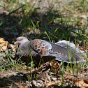 金背鳩 / Oriental Turtle Dove