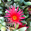 Red spike ice plant