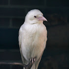 Carrion Crow (Albino)