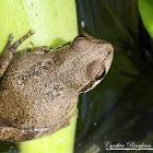 Baja California Treefrog