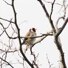 European Goldfinch, jilguero