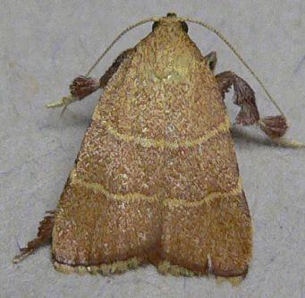 Posturing Arta Moth