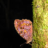 White-spotted Satyr Butterfly