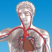 Blood Vessel Anatomy