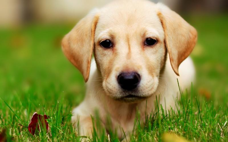Dog Wallpaper golden retriever dog wallpaper - android apps on google play