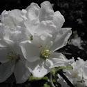Crab Apple Tree (Flowering)