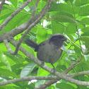Longtailed Shrike (dark morph)