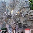Bismarck Palm