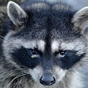 Common raccon