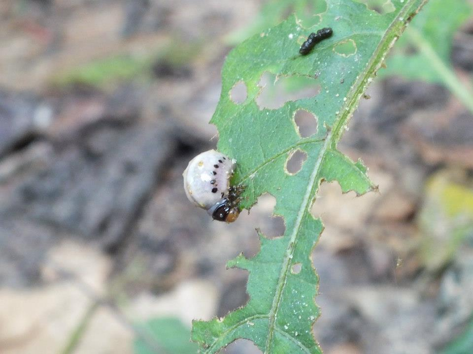 False Potato Beetle (larvae)