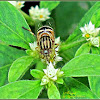 Spotted-eye Syrphid Fly