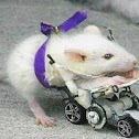 Scooter the Rat