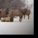 Roosevelt Elk, Uapiti