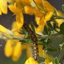 Genista caterpillar