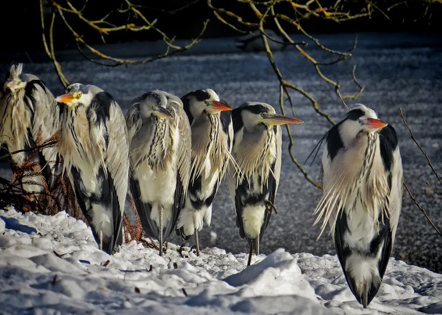 gray heron by Dunja Kolar - Animals Birds ( gray heron, croatia, zagreb )