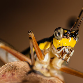 Yellow cricket by Jimmy Fang - Animals Insects & Spiders ( animals, bugs, nature, crickets, insects, grasshopper,  )