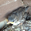 House Sparrow (fledgling)