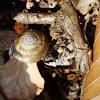 Aegopis verticillus