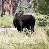North American Moose (female-cow)