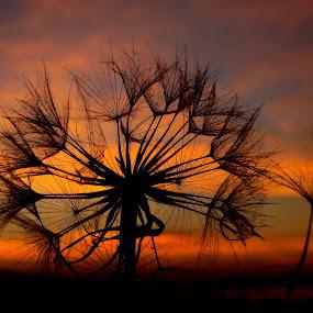 Sky by Svetlana Micic - Nature Up Close Other plants ( orange, sky, nature, dandelion, sunset )