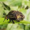 Escaravelho (Flower chafer)