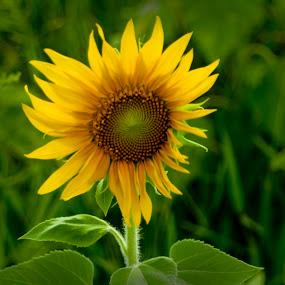 sunflower by Jim Oakes - Flowers Flowers in the Wild ( wild, bloom, flower )