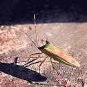 雙斑同緣蝽,Citied Bug
