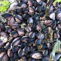 Beaked mussle