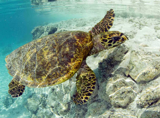 Swimming in a Bora Bora lagoon can bring you up-close to a sea turtle.