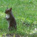 gray squirrel in the Carolinas or eastern gray squirrel