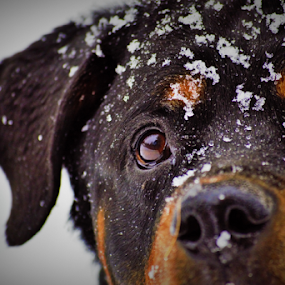 by Denise Johnson - Animals - Dogs Portraits ( animals, dogs, german rottweiler, pet,  )
