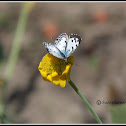 Common Pierrot Butterfly