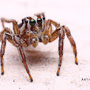 Pantropical Jumping Spider (Male)