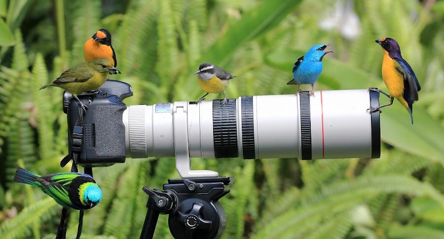 discussing! by Itamar Campos - Animals Birds ( female, saíra azul, saíra sete cores, gaturamo, male, cambacica )