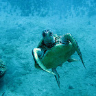 Hawai'ian Green Sea Turtle
