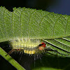 Tussoc moth catterpillar