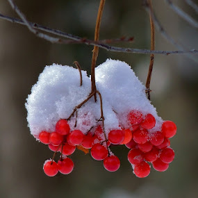 Snow capped. by Carolyn Kernan - Nature Up Close Other plants (  )