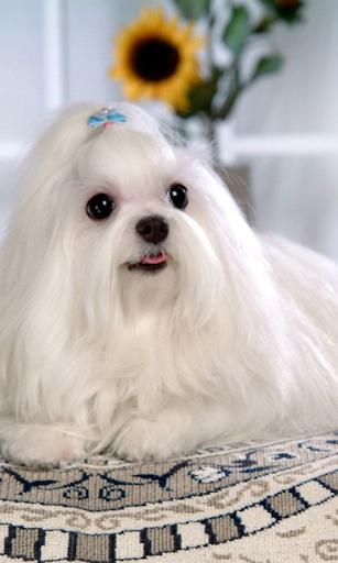 可爱的狗壁纸