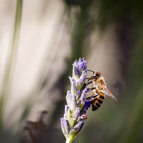 The Morning Bee by Malan Lombard - Animals Insects & Spiders ( resting, feeding, insect, close up, honey bee )