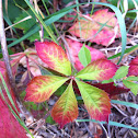Virginia creeper - in beautiful fall color change phase