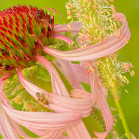 Purple Coneflower by Mike Moats - Flowers Flowers in the Wild ( purple conflower )